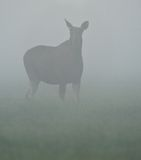 Moose in the fog Stock Images