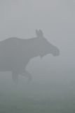 Moose in fog Stock Photography