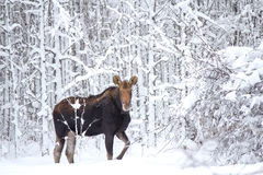 A moose in the forest. A large female moose in a snow covered forest stock photos