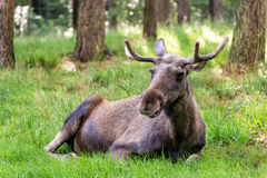 Moose. In a forest in nothern Europe stock photo