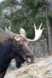 Moose In Forest Stock Photography