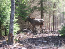 Moose in the forest in Sweden Royalty Free Stock Photos
