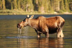 Moose at Glacier National Park. Moose feeding at Swiftcurrent lake at Glacier National Park, Montana stock images