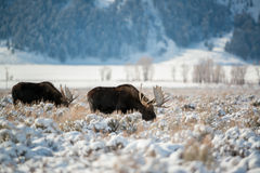 Moose, Grand Teton National Park Stock Image