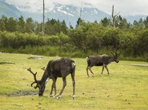 Caribou Grazing at Alaskan Preserve. A pair of caribou grazing,  making for a  bucolic scene.  The animals  have been injured in some capacity and are recovering Stock Image