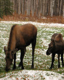 Moose grazing on field. Closeup of cow and calf moose grazing in snowy field Royalty Free Stock Photos