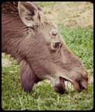 Moose Grazing stock photography