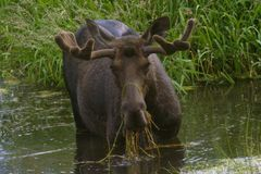 Moose having a drink Royalty Free Stock Photo