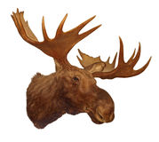 Moose head antler Stock Images