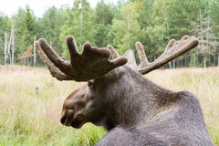 Moose Head. A moose with antlers looking into the distance Stock Images