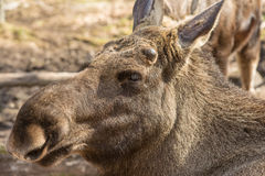 Moose head. Close-up in park Stock Photo