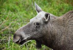 Moose Stock Photos
