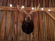 Moose Head Display Hunting Trophy Royalty Free Stock Images