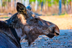Moose head without horns in reserve Royalty Free Stock Photo