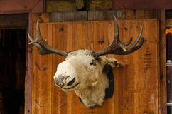 Moose head Stock Images