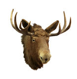 Moose head on a white background (Alces alces) Royalty Free Stock Photography