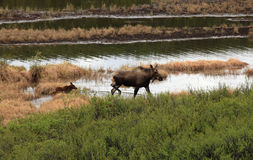 Moose and her calf Royalty Free Stock Image