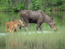 Moose and her twin baby calves. Moose cow and calves at Bowron Lake Provincial Park June 2005 royalty free stock photos