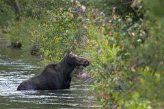 Free Moose In Water Royalty Free Stock Images - 12978219