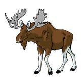 Moose isolated on white Stock Photo