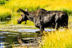 Moose at Jackson Hole Stock Photos