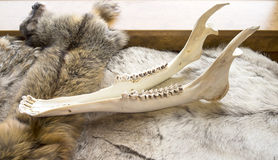Moose Jaw Bone Stock Image