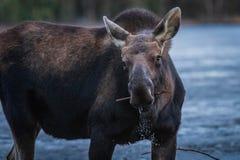 moose stock afbeelding