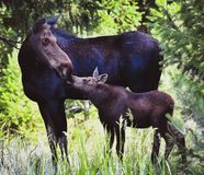 Moose Kisses. Mom ran across road in front of our car running after baby moose. I captured this sweet moment afterwards. Taken in Cody, WY royalty free stock photo