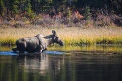 Moose in lake. Moose in an Alaskan lake Stock Photos