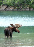Moose in a lake. Close up of a Moose in Lake Royalty Free Stock Image