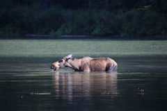 Moose in Lake. Female cow moose in lake in Glacier National Park stock photos