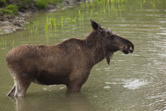 Moose in lake Royalty Free Stock Photo