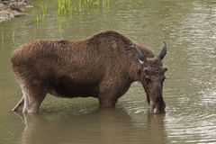 Moose in lake Royalty Free Stock Photography