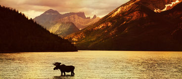 Moose in lake at sunset. Scenic view of Waterton Lakes National Park at sunset with moose silhouetted in foreground, Alberta, Canada