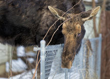 Moose leaning over fence. Royalty Free Stock Photo