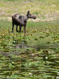 Moose Among Lily Pads. Moose (Alces alces) in pond at Grand Teton National Park, Wyoming, U.S.A Royalty Free Stock Photography