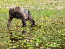 Moose Among Lily Pads. Moose (Alces alces) feeding in pond at Grand Teton National Park, Wyoming, U.S.A Stock Photo