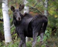 Free Moose Looking Back Stock Photo - 17816980
