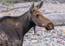 Moose Looks Right with Attentive Ears Stock Photography