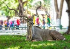 Moose lying relaxing Stock Photo