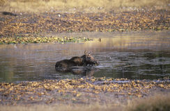 Moose Lying in Stream Royalty Free Stock Images