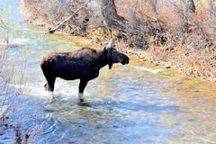 Moose makes its way through a stream in Jackson Hole, Wyoming stock photos