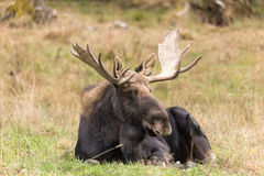 Moose (Male) Royalty Free Stock Photos