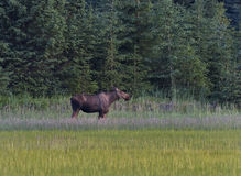 Moose in the Meadow Royalty Free Stock Image