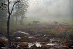 Moose in the Mist. Award winning dreamlike photo of mother and baby moose having breakfast at the swamp in Maine Royalty Free Stock Photos