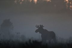 Moose in the mist Stock Photography