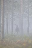Moose in the misty forest Royalty Free Stock Image