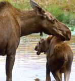 Moose Mom and Calf Royalty Free Stock Images