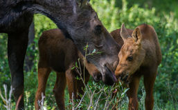 Moose mom and twins royalty free stock image