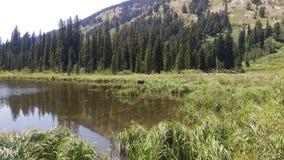 Moose in Moose Pond royalty free stock image